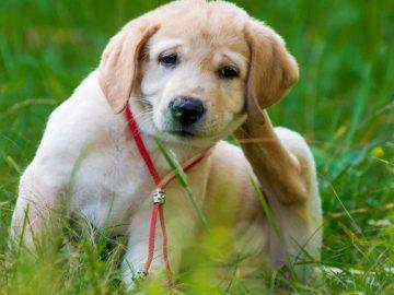 Flea Puppy
