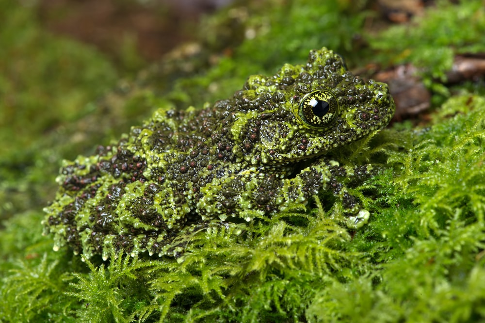 Camouflage frog pet