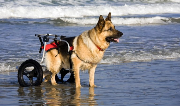 Dog Wheelchairs Is an Ideal Mobility Equipment to Tackle Immobility