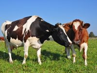 Livestock Breeds Farmers pet